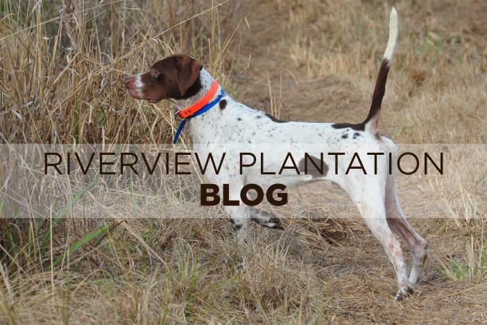 Image of: National Championship Bird Dogs Bird Dogs Riverview Plantation