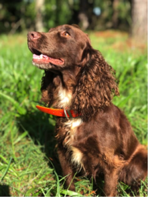 Trained Dogs For Sale Riverview Plantation